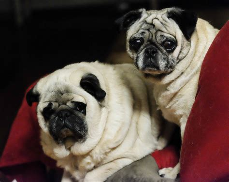 pretty pugs of two pugs