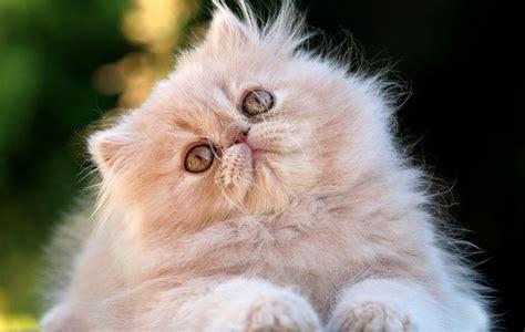 i gatti persiani razze di gatto il persiano