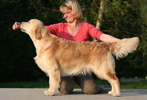 stormerick golden retrievers port 233 e pass 233 e golden retrievers du bois de la 232 re