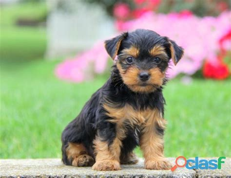 free yorkie puppies for adoption yorkie puppies for adoption in islamabad clasf animals