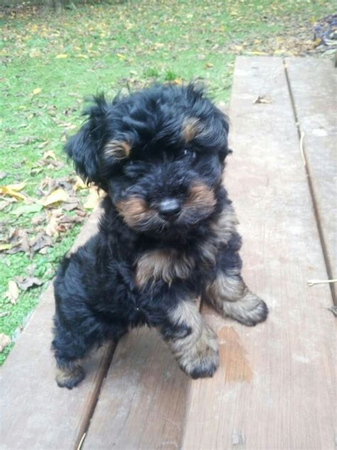 how to cut a yorkie poo s hair my yorkie poo wag pinterest