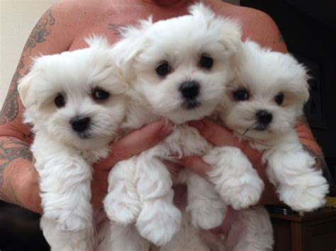 maltese terrier puppies for sale beautiful maltese terrier puppies worksop nottinghamshire pets4homes