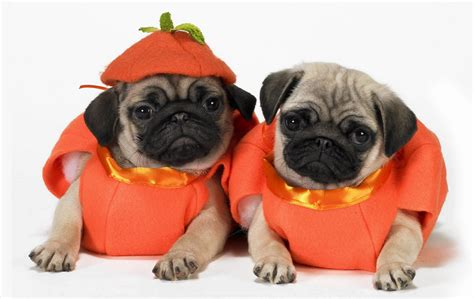 pug puppies in pugs puppies in costumes www pixshark images galleries with a bite