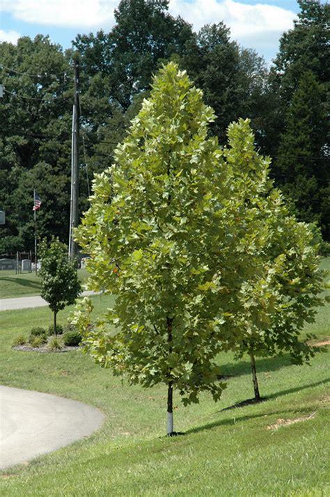exclamation london planetree platanus  acerifolia