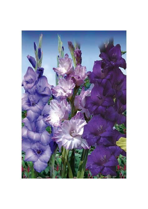 gladioli fiori gladiolo