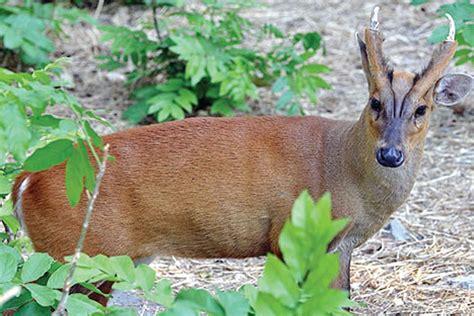 kijang muntiacus muntjak the reliable runners dari indonesia yang tersandung habitatnya