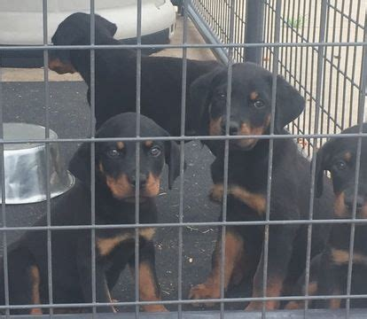 puppies for sale in fayetteville nc 25 best ideas about rottweiler puppies for sale on german rottweiler