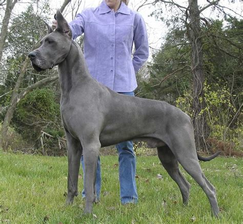 colors of great danes dane colours patterns pic heavy all about great danes