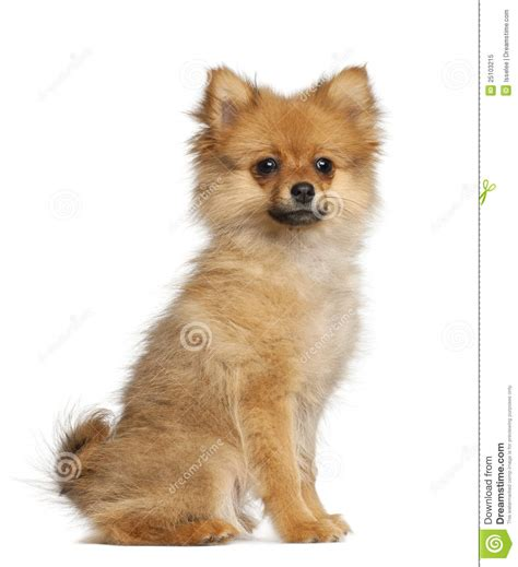 3 month puppy spitz puppy 3 months sitting royalty free stock photo image 25103215