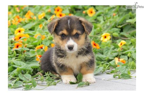 cardigan corgi puppies for sale price corgi cardigan puppy for sale near lancaster pennsylvania 15decf0f 2a51