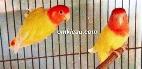 Pakan Lolohan Induk Lb muda gunawan kembangkan opaline non klep klub burung