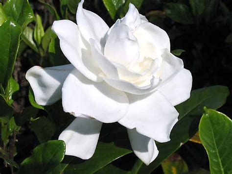 imagenes de flores gardenias gardenia jasminoides nombre com 250 n o vulgar gardenia