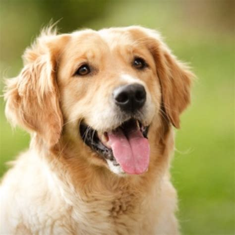 save a golden retriever golden retriever doggies golden retrievers rockets and diamonds