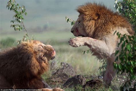 imagenes de unos leones you should see the other guy lions left bloodied after