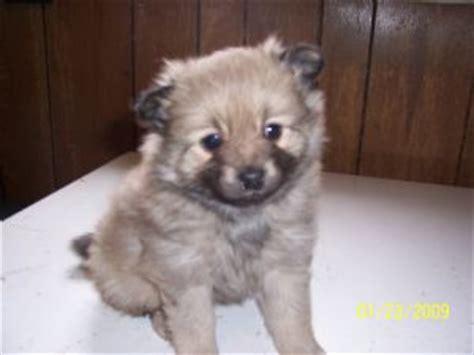 pomeranian puppies for sale in nebraska pomeranian puppies in nebraska