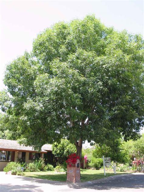 tree fresno ca plantas medicinales fresno plantas medicinales