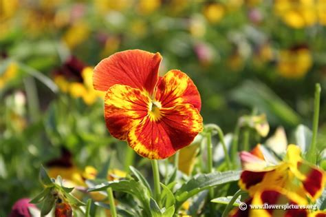 floral pictures pansy picture 58