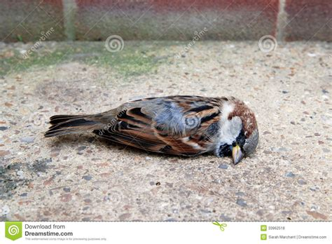 Dead Sparrow Bird Stock Photography Cartoondealer Com Dead Sparrow