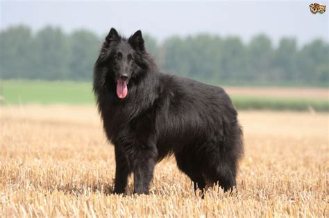 belgian breeds belgian shepherd breed information buying advice photos and facts pets4homes