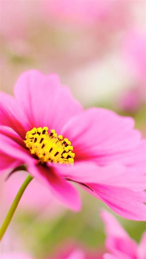 Pink Dahlia Macro Flower Android Wallpaper free download