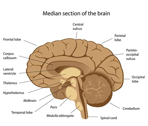 diagrams of the brain consciousness illness and belief brain diagram two