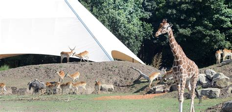 discount vouchers yorkshire wildlife park 2015 giraffes move into new african reserve at yorkshire