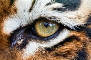 wbcw89 bengal tiger eye macro detail slides img 8732 jpg