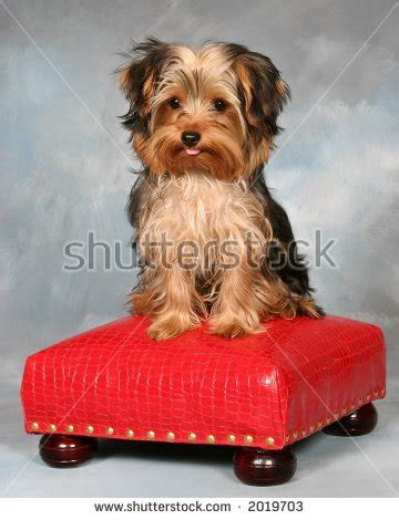 yorkie tongue sticking out yorkie puppy sitting on a stool sticking his tongue out stock breeds picture