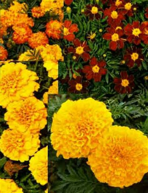 marigolds shade annuals