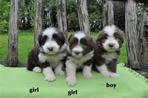 bearded collie puppies for sale bearded collie puppies for sale blakeney gloucestershire pets4homes