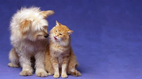 wallpaper cat and dog hd romantic cat and dog love animal hd wallpapers 1080p