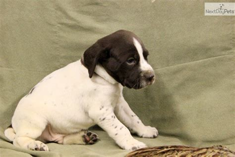 puppies for sale in rockford il german shorthaired pointer puppies illinois