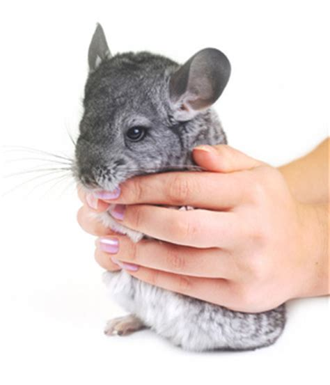chinchilla health illness