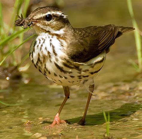 bird species louisiana waterthrush