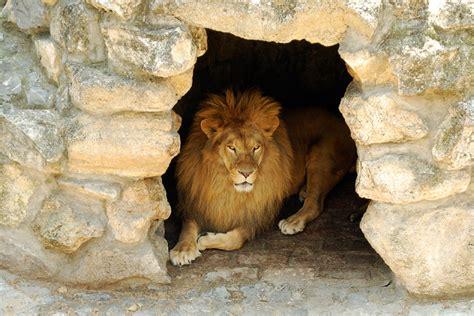 lions home daniel 6 daniel in the lions den