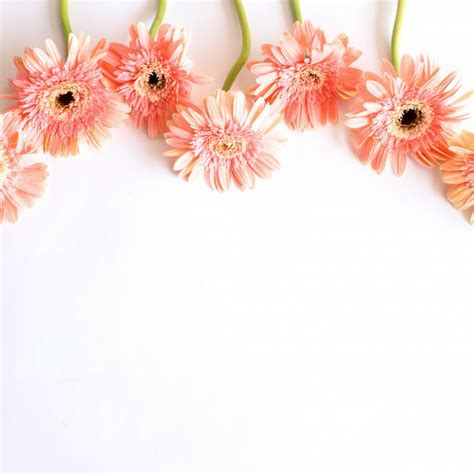 Pink flowers on white background for anniversary, birthday