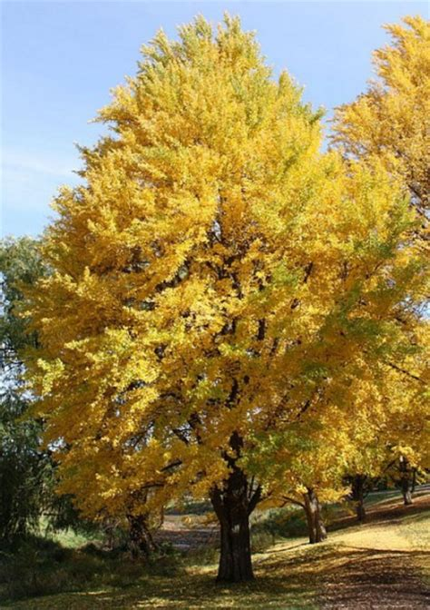 growing ginkgo biloba tree ginkgo biloba tree care and