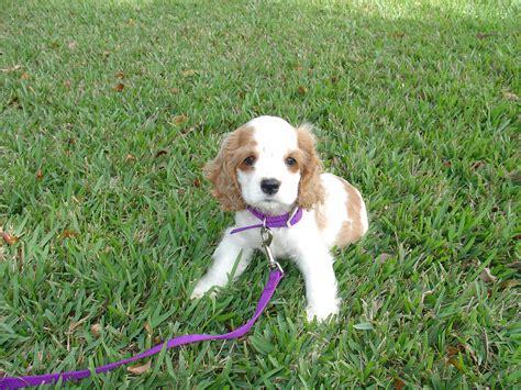 Fileamericaner  Ee  Spaniel Ee    Ee  Puppy Ee    Weeks Jpg Wikimedia