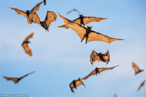 spectacular scenes as eight million fruit bats flock