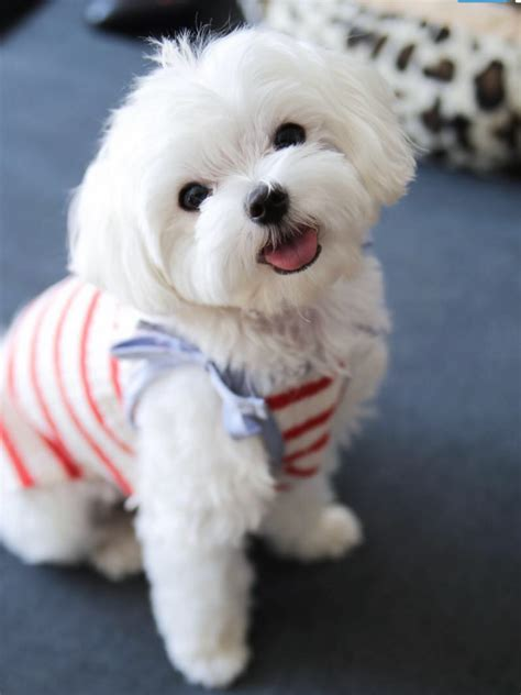 how to give my maltese yorky a haircut pinterest hannayyoder puppy love pinterest maltese