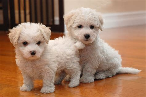 maltichon puppies maltichon info temperament puppies pictures