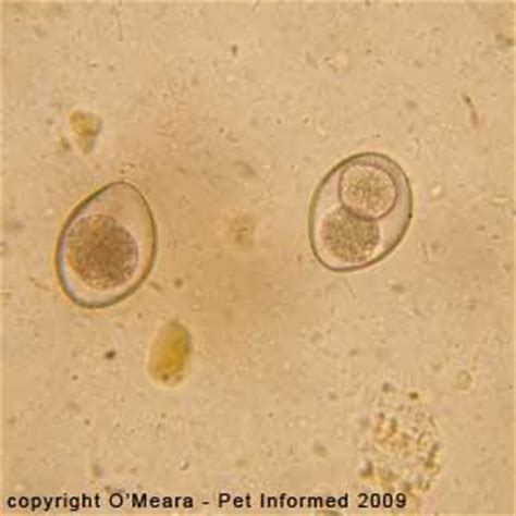 coccidia dogs parasitology patho biological sciences 514 with yoshino at of