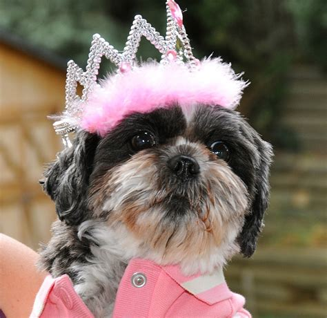 shih tzu birthday dottie shih tzu in birthday tiara dottie shih tzu in h flickr