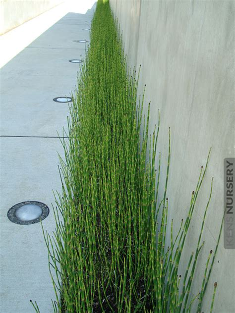 temperate equisetum water bamboo kens nursery