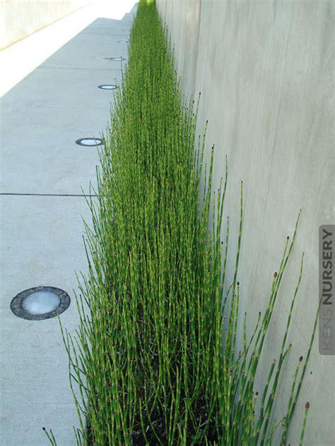temperate equisetum water bamboo kens nursery
