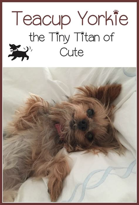 are teacup yorkies hypoallergenic teacup yorkie tiny titan of hypoallergenic dogs