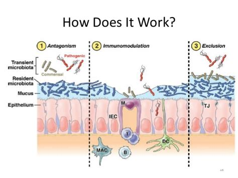 how work probiotics for the gut a guide for primary care physicians