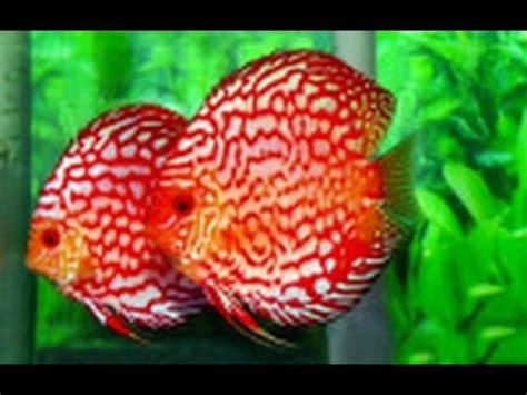 Lu Hias Di Jakarta 10 ikan hias termahal di indonesia