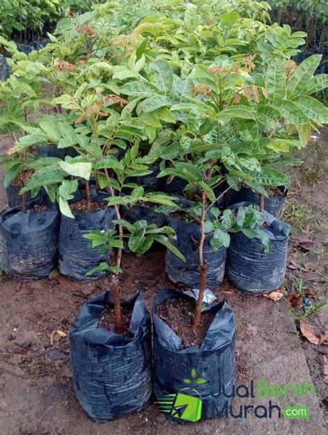 Bibit Kelengkeng Aroma bibit kelengkeng aroma durian 70 cm jualbenihmurah