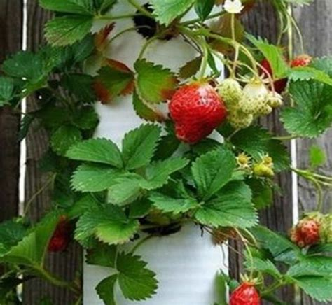 pvc strawberry planter plans easy video instructions